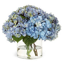 Heavenly Blue Hydrangeas